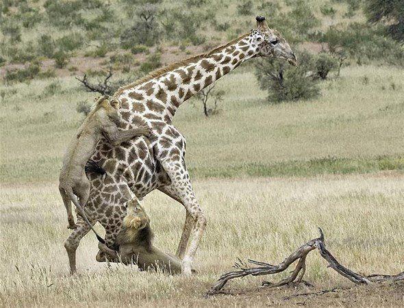 Aslan zürafayı gözüne kestirirse! Dehşete düşüren fotoğraflar. - Sayfa 2