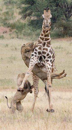 Aslan zürafayı gözüne kestirirse! Dehşete düşüren fotoğraflar. - Sayfa 3
