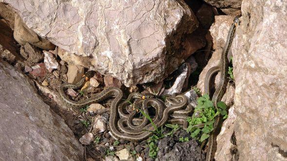 Hakkari'de yılan sürüsü görenleri şaşkına çeviriyor - Sayfa 3