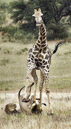 Aslan zürafayı gözüne kestirirse! Dehşete düşüren fotoğraflar. - Sayfa 4