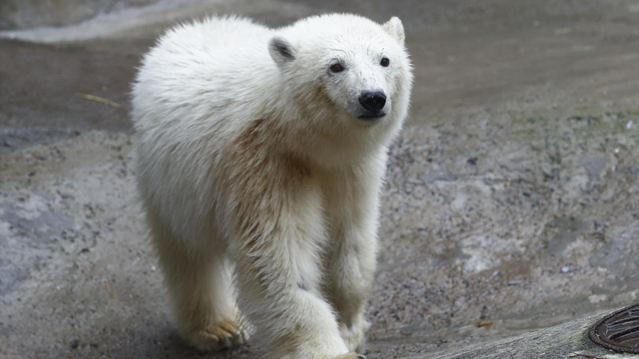 Bolşevik Adası'ndan kurtarılan kutup ayısı Moskova'da - Sayfa 2