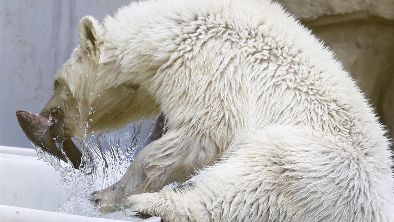 Bolşevik Adası'ndan kurtarılan kutup ayısı Moskova'da - Sayfa 4