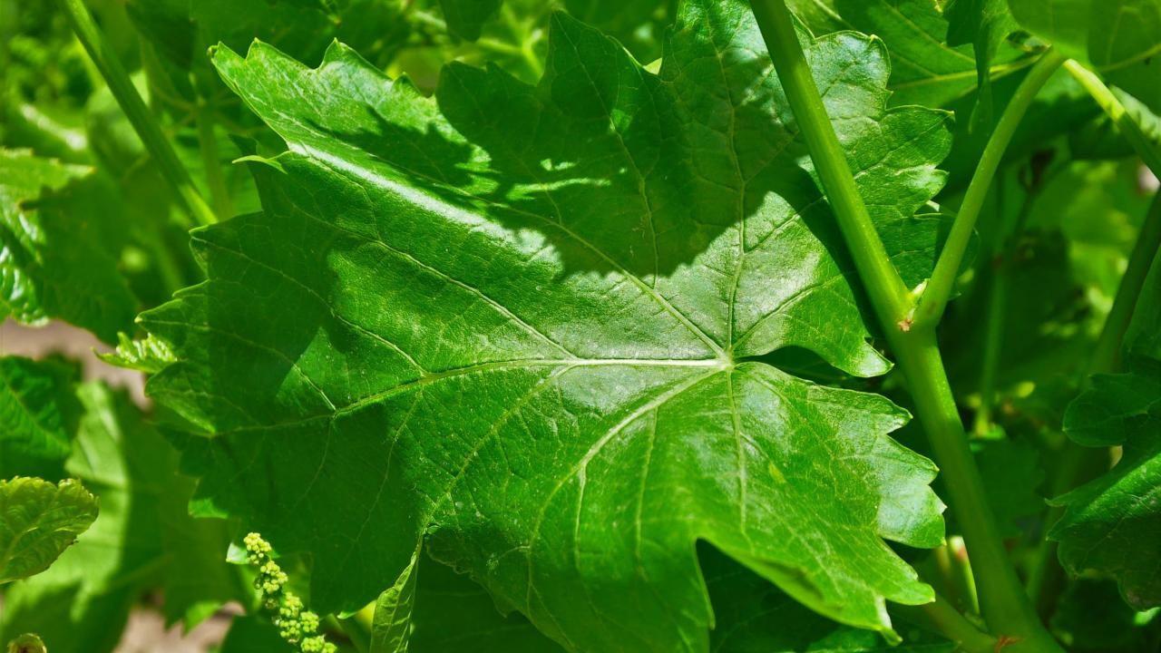 Avrupa ve Orta Doğu ülkelerine Manisa yaprağı ihracatı - Sayfa 1