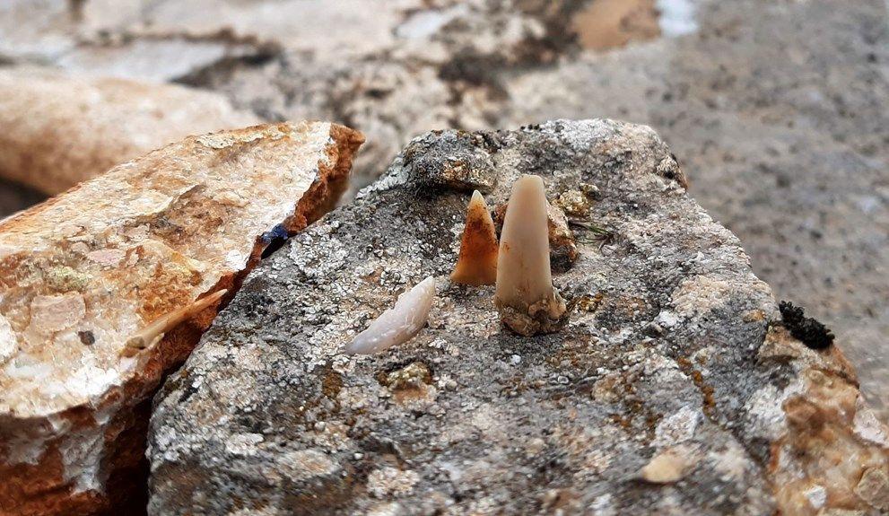 Adıyaman'da milyonlarca yıl öncesine ait balık dişleri bulundu - Sayfa 1