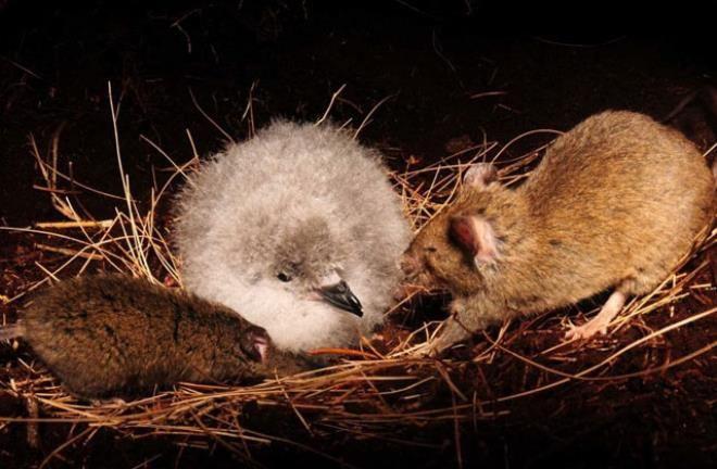 Vahşi doğada görülmedik olay! Sıçan, büyük kuşu canlı canlı yedi - Sayfa 3