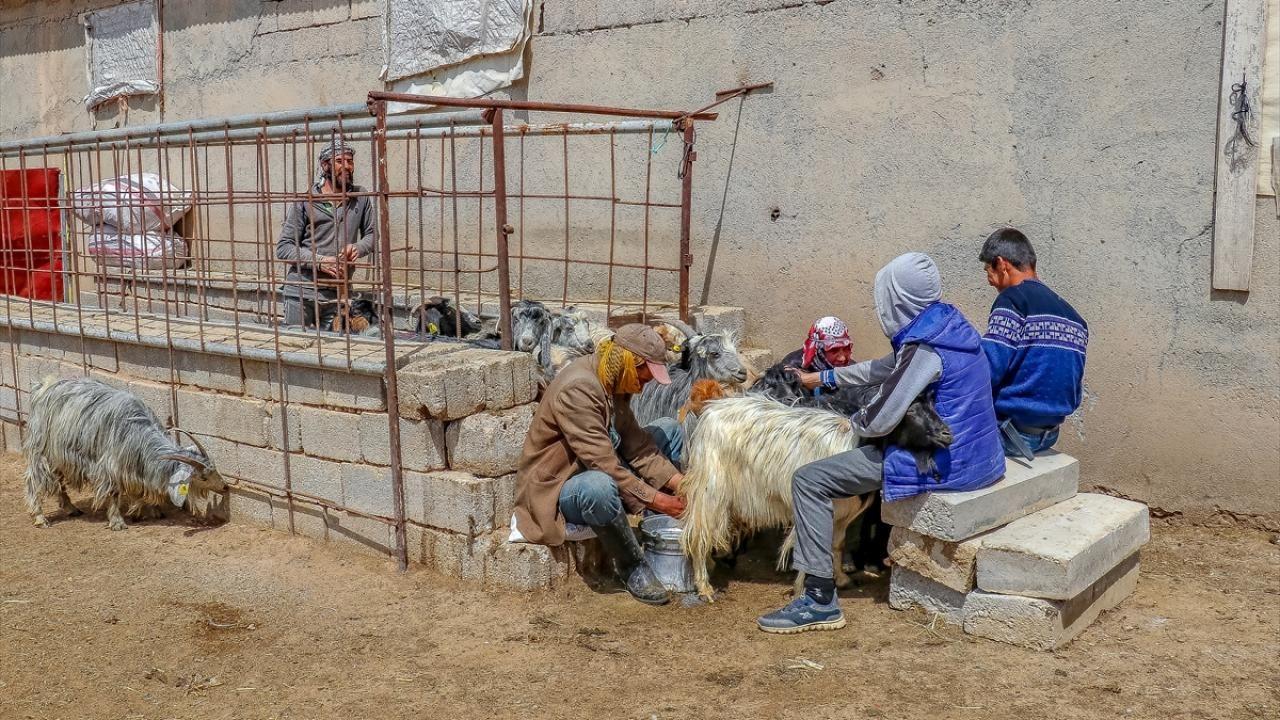 Vanlı girişimci kurduğu keçi çiftliğinde süt talebine yetişemiyor - Sayfa 1