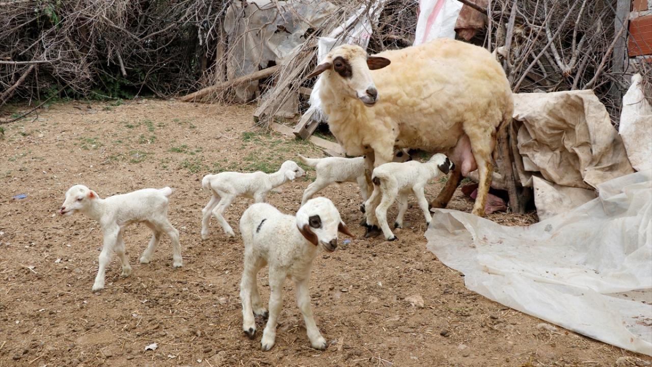 Bir batında 7 kuzu doğuran koyun şaşırttı - Sayfa 1