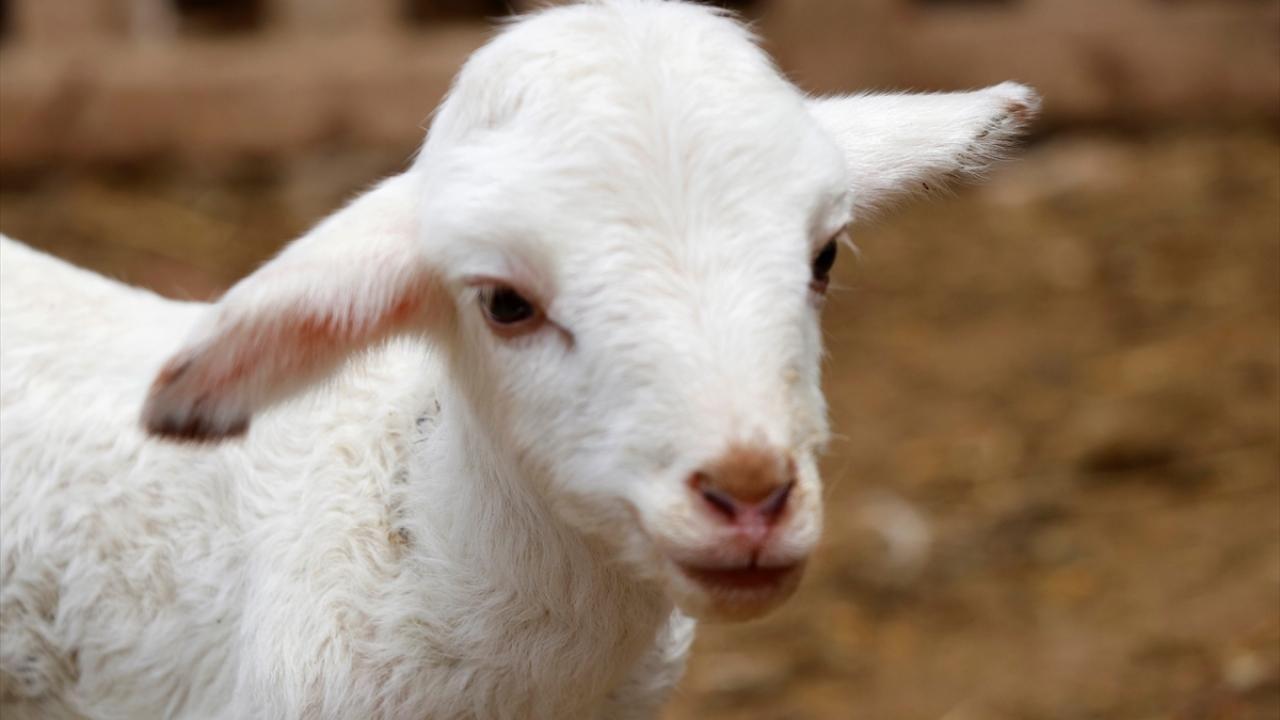 Bir batında 7 kuzu doğuran koyun şaşırttı - Sayfa 2