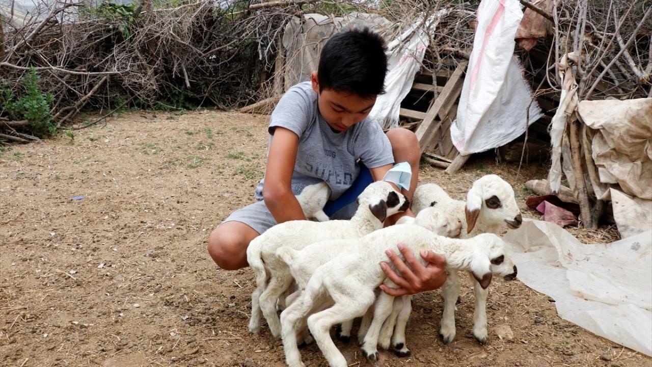 Bir batında 7 kuzu doğuran koyun şaşırttı - Sayfa 3