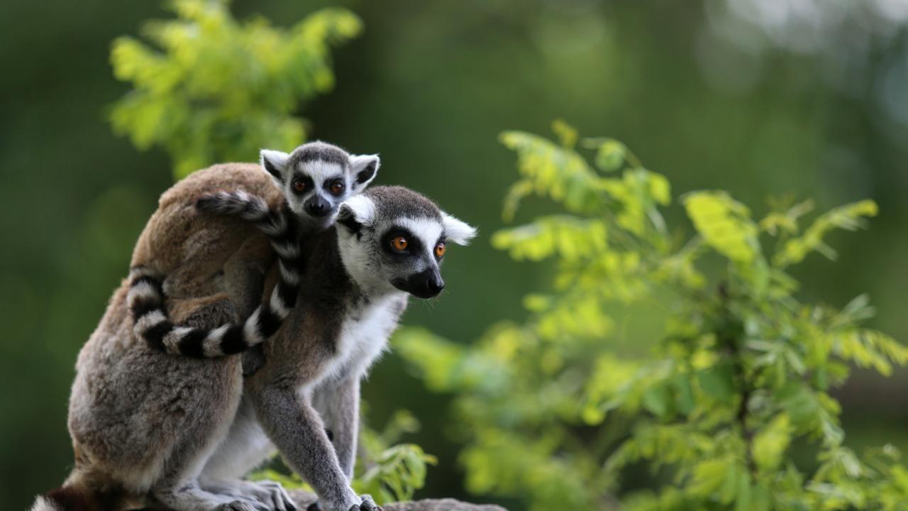 Lemur ailesine yeni üyeler eklendi - Sayfa 3