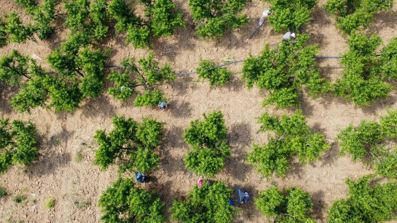 """Şeftali üreticisi kaliteyi artırmak için ağaçlarda """"tekleme"""" yapıyor - Sayfa 1"""