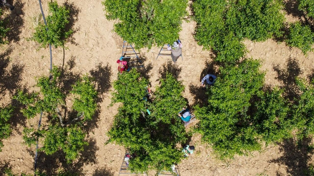 """Şeftali üreticisi kaliteyi artırmak için ağaçlarda """"tekleme"""" yapıyor - Sayfa 2"""