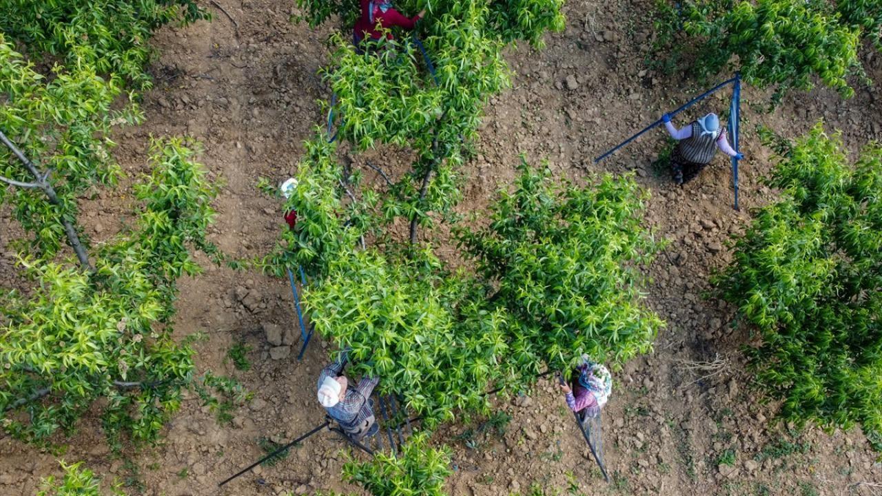 """Şeftali üreticisi kaliteyi artırmak için ağaçlarda """"tekleme"""" yapıyor - Sayfa 4"""
