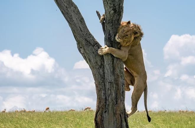 Bufaloların köşeye sıkıştırdığı aslan bakın ne yaptı! İşte güldüren kaçış planı - Sayfa 3