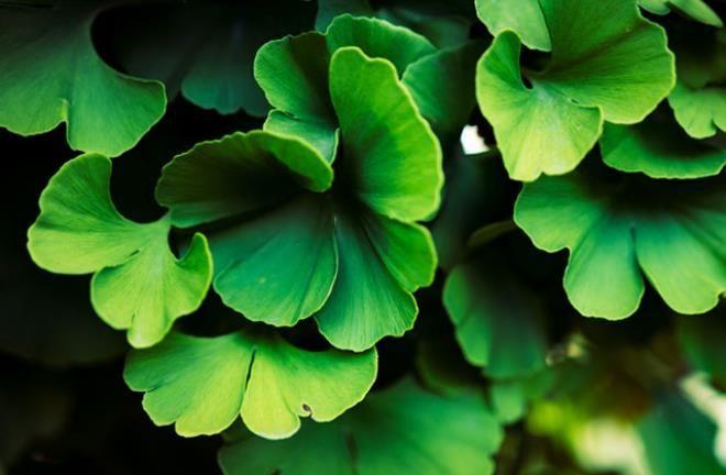 Atom bombasına direnen tek bitki! Bir yaprağı bile libidoyu artırıyor - Sayfa 3