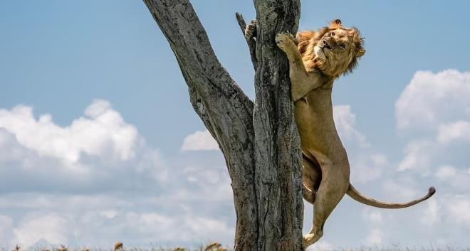 Bufaloların köşeye sıkıştırdığı aslan bakın ne yaptı! İşte güldüren kaçış planı - Sayfa 4