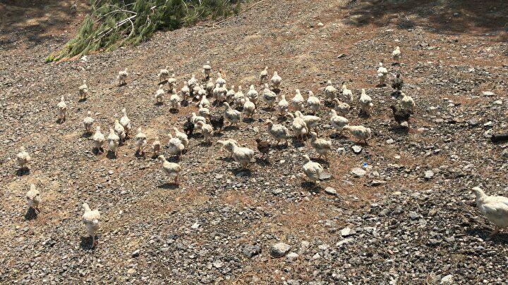 Adana'da vicdanları sızlatan görüntü: Yüzlerce civcivi ölüme terk ettiler - Sayfa 3