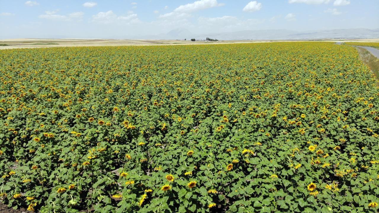 Ağrı'daki ayçiçeği tarlaları fotoğrafçılar için vazgeçilmez oldu - Sayfa 2