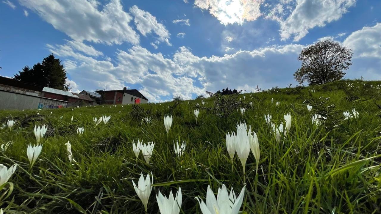 'Vargit' çiçekleri Trabzon yaylalarını süslüyor - Sayfa 1