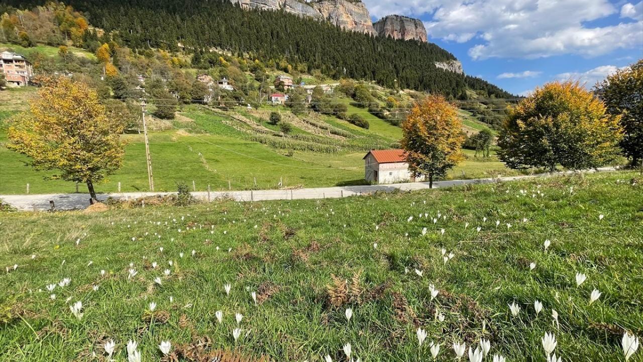 'Vargit' çiçekleri Trabzon yaylalarını süslüyor - Sayfa 4