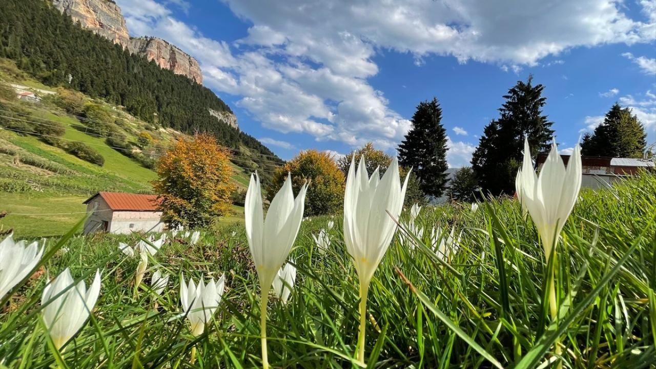 'Vargit' çiçekleri Trabzon yaylalarını süslüyor - Sayfa 2