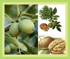 Ceviz yaprağı faydaları ve çayı - Sayfa 1