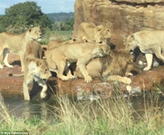 Erkek aslanın zor anları... 9 Dişinin arasında... - Sayfa 4