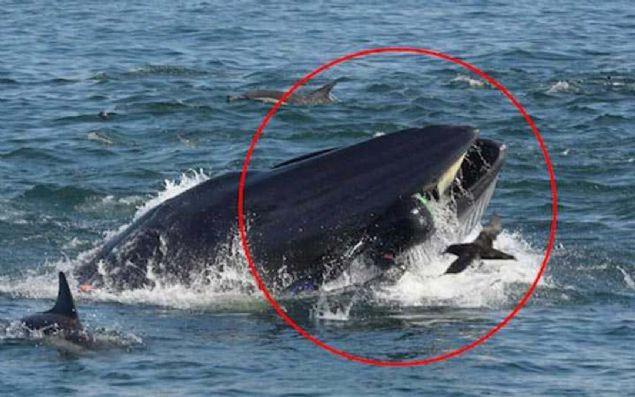 İnanılmaz olay! Dev balina dalgıcı yuttu - Sayfa 1