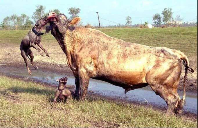 İki pitbull cinsi köpek bir boğaya saldırırsa ne olur? - Sayfa 1