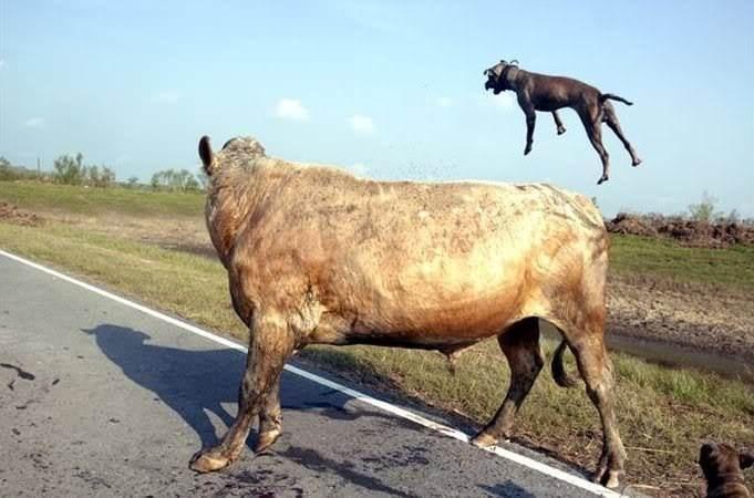İki pitbull cinsi köpek bir boğaya saldırırsa ne olur? - Sayfa 2