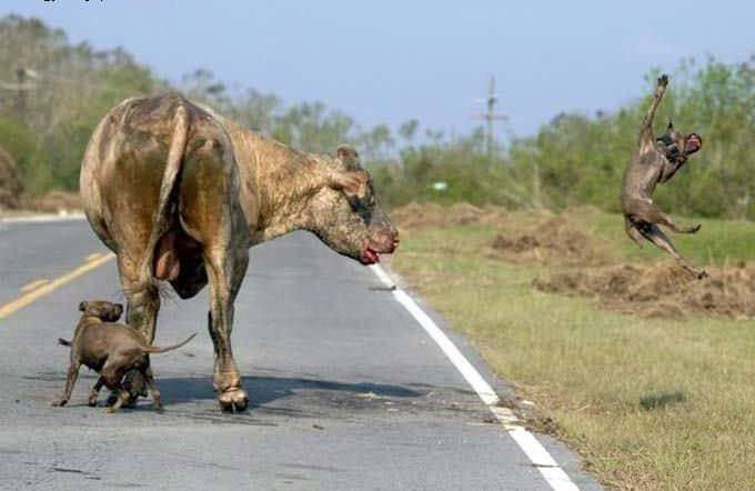 İki pitbull cinsi köpek bir boğaya saldırırsa ne olur? - Sayfa 3