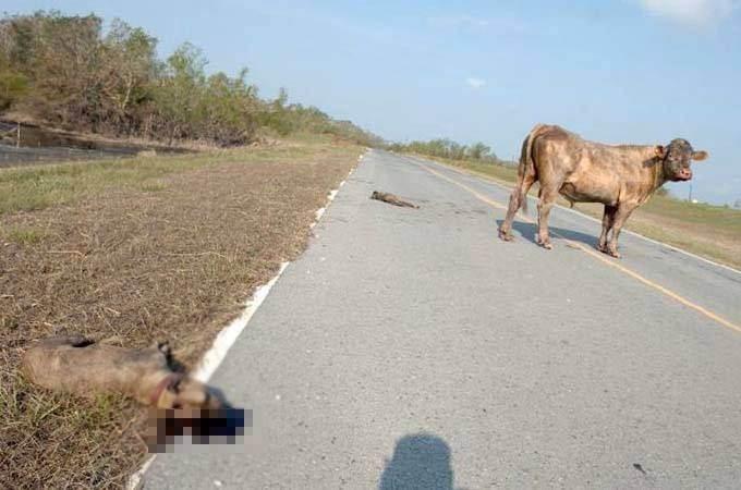 İki pitbull cinsi köpek bir boğaya saldırırsa ne olur? - Sayfa 4