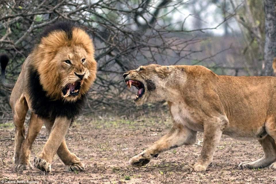 Aslanların nefes kesen kavgası! - Sayfa 1