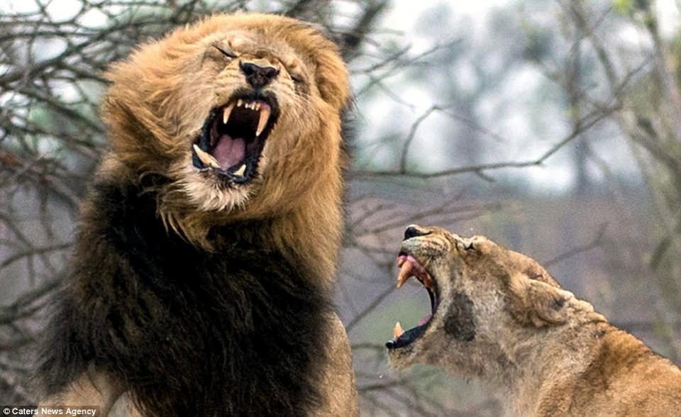 Aslanların nefes kesen kavgası! - Sayfa 2