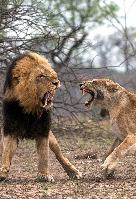 Aslanların nefes kesen kavgası! - Sayfa 3