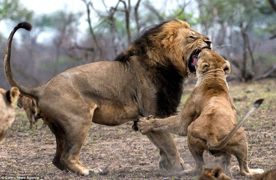 Aslanların nefes kesen kavgası! - Sayfa 4