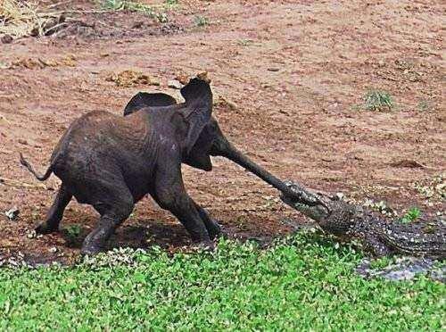 Timsah fili yakaladı ve... - Sayfa 1