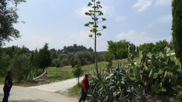 Osmaniye'de gerçekleşti yüzyıl bitkisi çiçek açtı - Sayfa 2