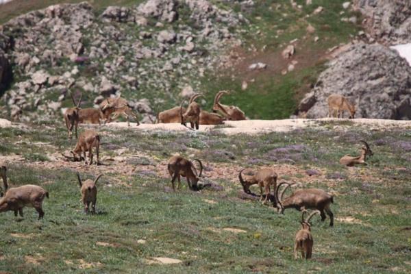Munzur Dağı'nın zirvesinde Bezuvar dağ keçileri - Sayfa 1