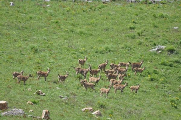 Munzur Dağı'nın zirvesinde Bezuvar dağ keçileri - Sayfa 3