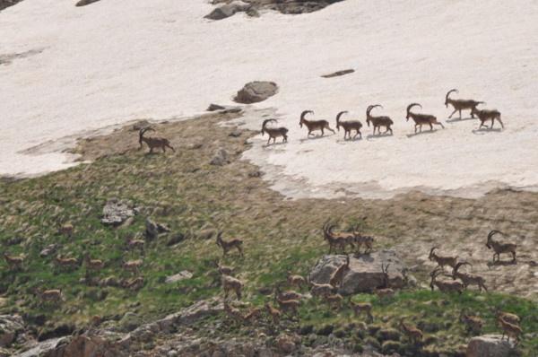 Munzur Dağı'nın zirvesinde Bezuvar dağ keçileri - Sayfa 4