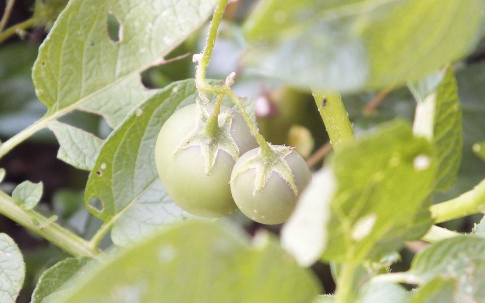 Bilecik sakinleri şaşkın! Patates ektiler ama domates çıktı - Sayfa 2