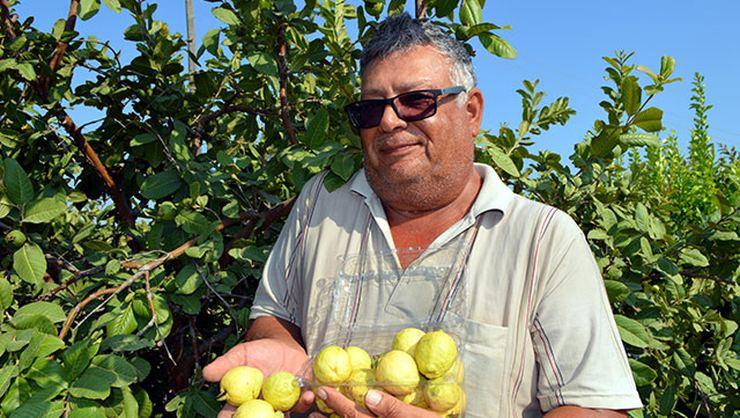 Silifke'de 'guava' hasadı başladı - Sayfa 1